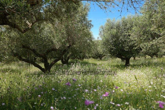 Kefalonia - Olijfbomen in Lente bloemenveld