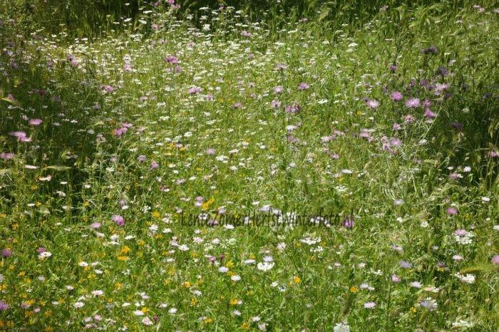 Kefalonia - bloemenveld Lente